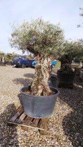 Dieser Olivenbaum hat schon einiges an Frost hintersich.