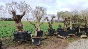 Olivenbäume, Palmen, Zitruspflanzen sowie auch Gertenmöbel und noch mehr mit kleinen Fehlern