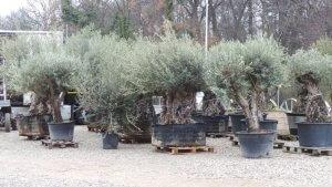 Olivenbäume in verschiedenen Größen und Altersklassen