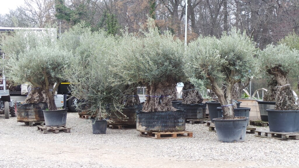 Sehr alter olivenbaum mediterranes ambiente for Gartengestaltung olivenbaum