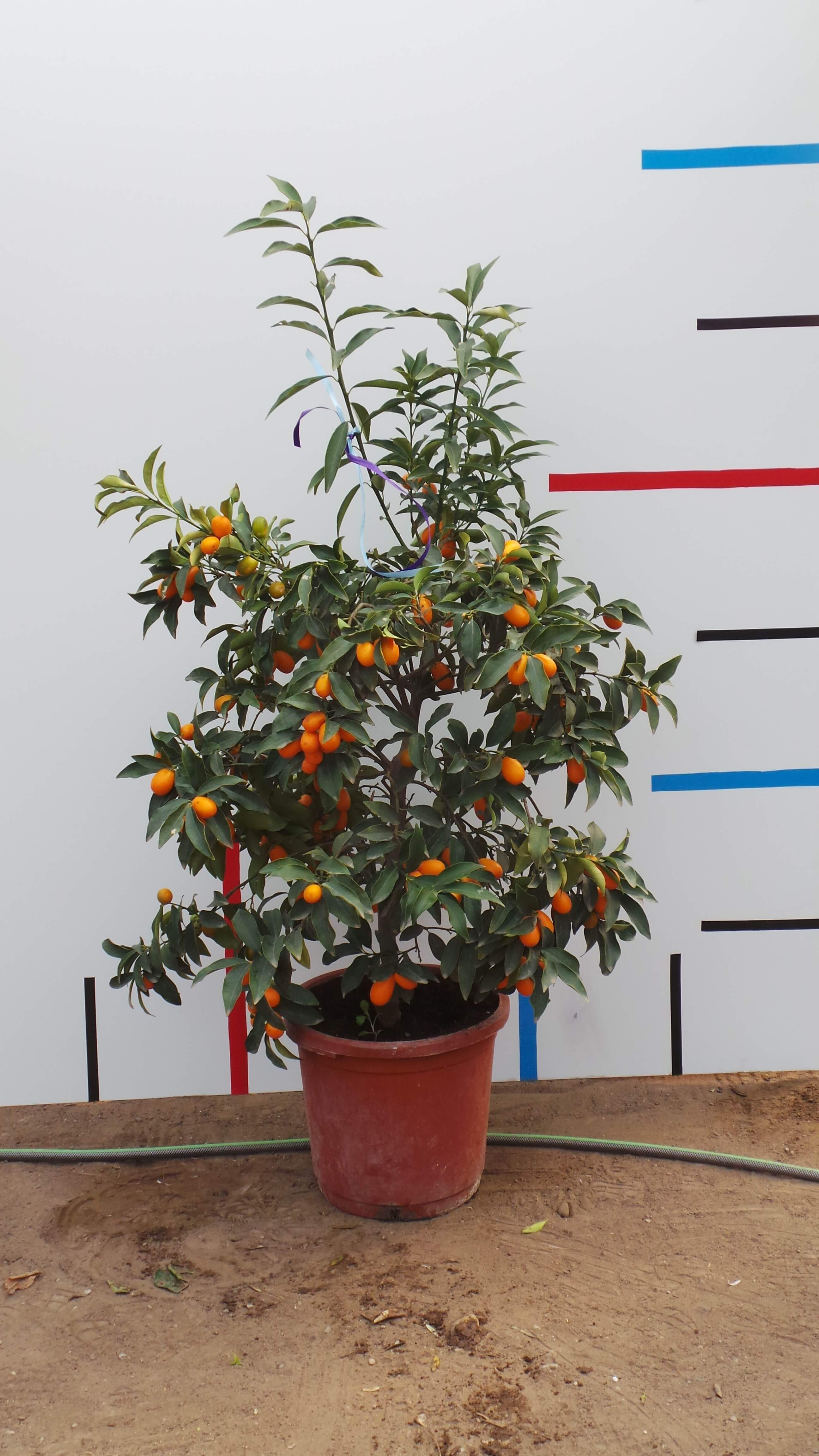 Kumquat das Geschmachserlebnis
