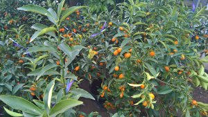 Große Auswahl an Zitruspflanzen