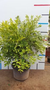 Sehr schöner Mandarinenbaum ca. 175 cm hoch.