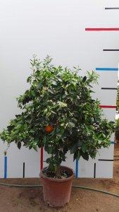 Orangenbaum im c 30 Topf