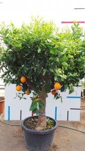 Orangenbaum mit Stammumfang 30-40 cm