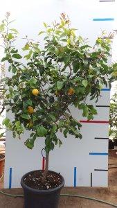 Zitronrnbaum mit Früchten