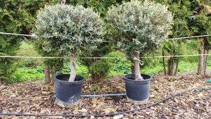 Der Olivenbaum hat eine Höhe mit Topf von ca. 140cm