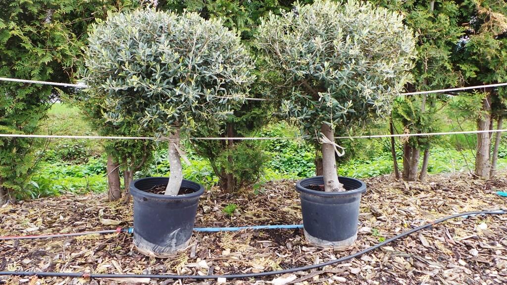 Alte knörrige Olivenbäume zum fest Pflanzen  Auch mit