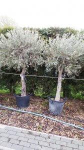 Gesamthöhe der Olive liegt bei ca.270cm