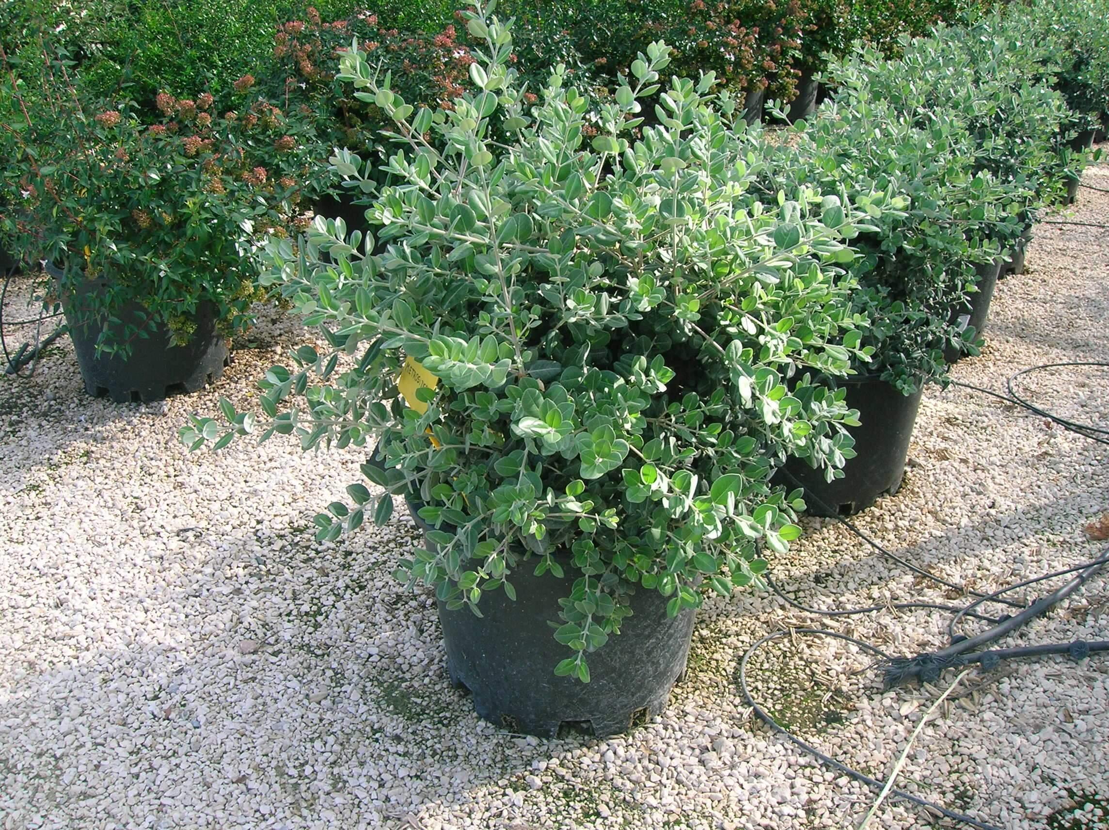 mediterrane exotische pflanzen und kr uter f r die k che und der sch dlingsbek mpfung. Black Bedroom Furniture Sets. Home Design Ideas